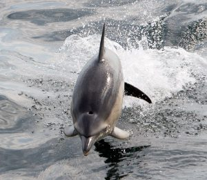 dolphin jumping out of sea